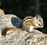 Chipmunk - Photo Credit: Christine Angele